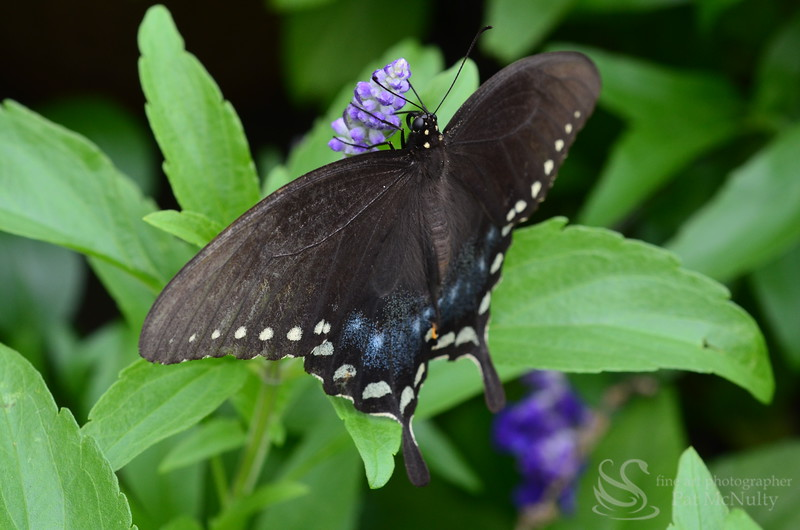 Pipevine Swallowtail Butterfly Photo