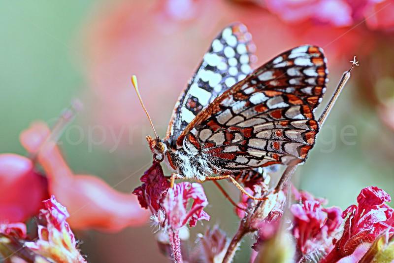 Geranium Nectar