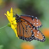 Glassy Blue Tiger Butterfly