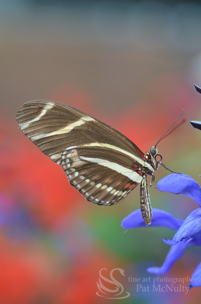 Areus Butterfly