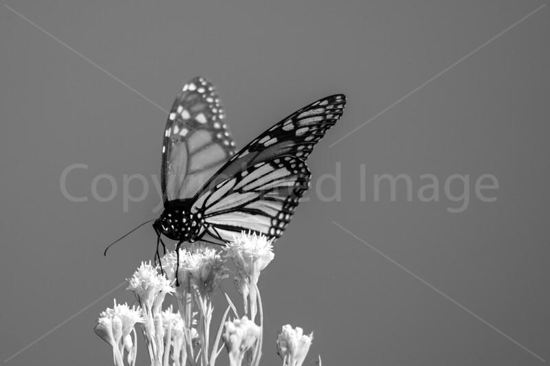 Zen Monarch