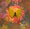 Butterfly Yellow Dahlia