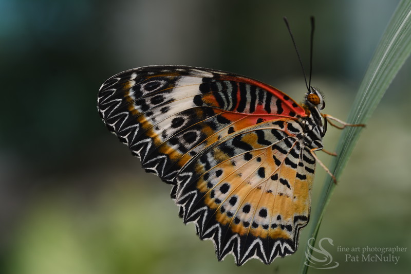 Cheekerspot Butterfly