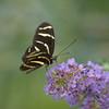 Two Zebra Butterfly