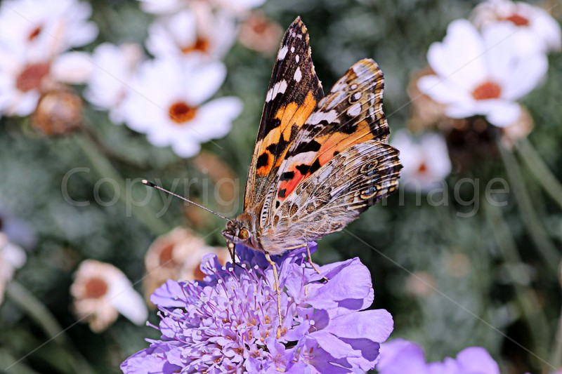 Painted Lady Pose
