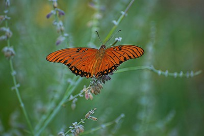 Fritillary in the Sage