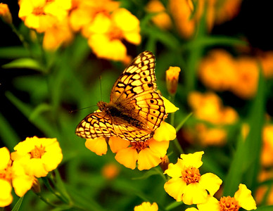 Yellow butterfly on yellow flowers.  Taken in my garden yesterday..