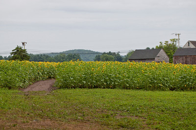 Buttonwood Farms Sunflowers