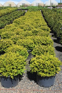 Buxus m k  'Winter Gem' (field grown) 15-18 in #10 Mass