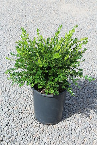 Buxus m  k  'Winter Gem' #5