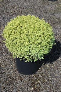 Buxus s  'Variegata', Globe (field grown) 18-24 in #7