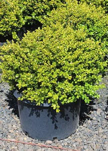 Buxus m k  'Winter Gem' (field grown) 15-18 in #10