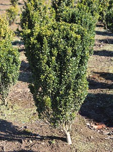 Buxus s  'Graham Blandy' 24-30 in Field Grown (2)