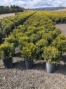 Buxus m k  'Green Beauty' #5 Mass