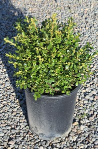 Buxus m k  'Green Beauty' #5 (2)