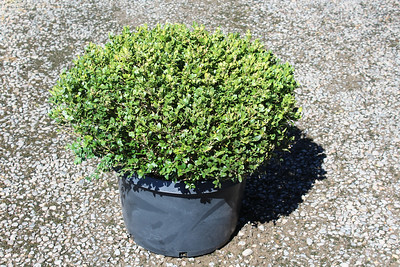 Buxus s  'Vadar Valley', Globe (field grown) 24-30 in #15