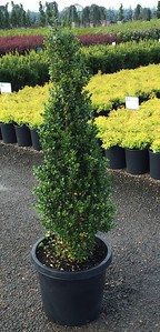 Buxus s  'Dee Runk' (field grown) 36-42 in #15