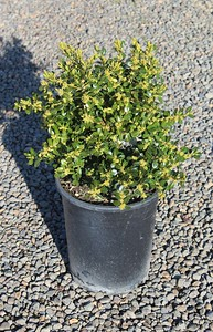 Buxus m k  'Green Beauty' #5