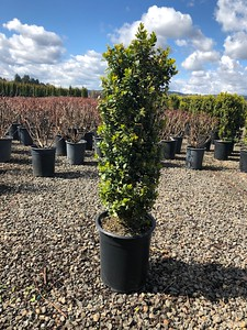 Buxus s  'Green Pillar'