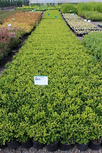 Buxus m k  'Green Beauty' #1
