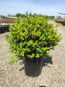 Buxus m  k  'Winter Gem' #5 (2)