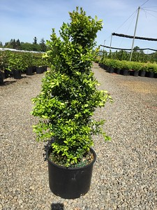 Buxus s  'Green Tower'