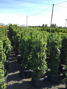 Buxus s  'Graham Blandy' (field grown) 3-4' #10