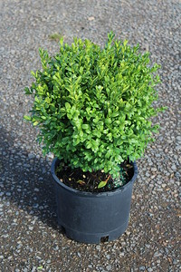 Buxus s  'Suffruticosa Select' #3