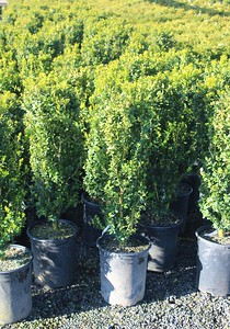 Buxus s  'Green Pillar' #5 Group