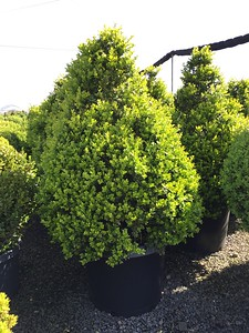 Buxus m  k  'Green Beauty' Pyramid (field grown) 42-48 in #20 (2)