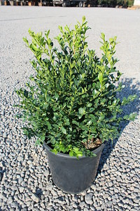 Buxus s  'Chicagoland Green' #5 (2)