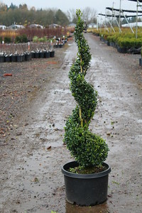 Buxus s  'Green Tower' (Columnar) Spiral #10