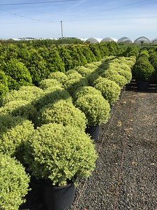 Buxus s  'Variegata' Globe (field grown) 18-24 in #7