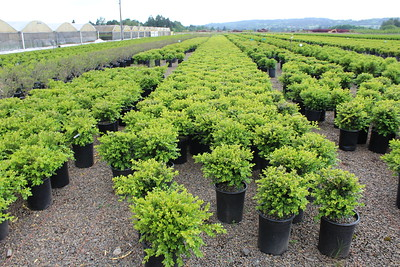 Buxus s  'Chicagoland Green' #5 (1)