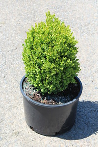 Buxus s  'Suffruticosa' 10-12 in #6