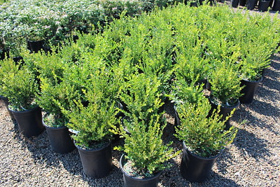 Buxus s  'Winter Gem' #5