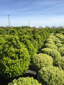 Buxus m  k  'Green Beauty' Pyramid (field grown) 42-48 in #20