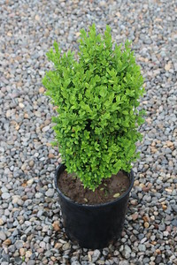 Buxus s  'Suffruticosa' (field grown) 10-12 in #2