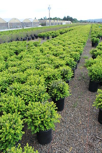 Buxus s  'Chicagoland Green' #5