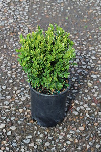 Buxus s  'Chicagoland Green' #1