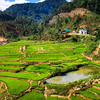 Green Vietnamese Highland Paddy Fields