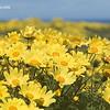 Yellow Daisies, Coastal California