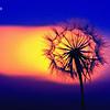 Dandy Sun