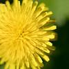 Dandy Flower