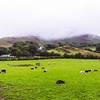 Lambs Resting Under Fog