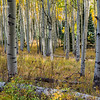 Aspen Forest - Last Dollar Road - Ridgeway Colorado