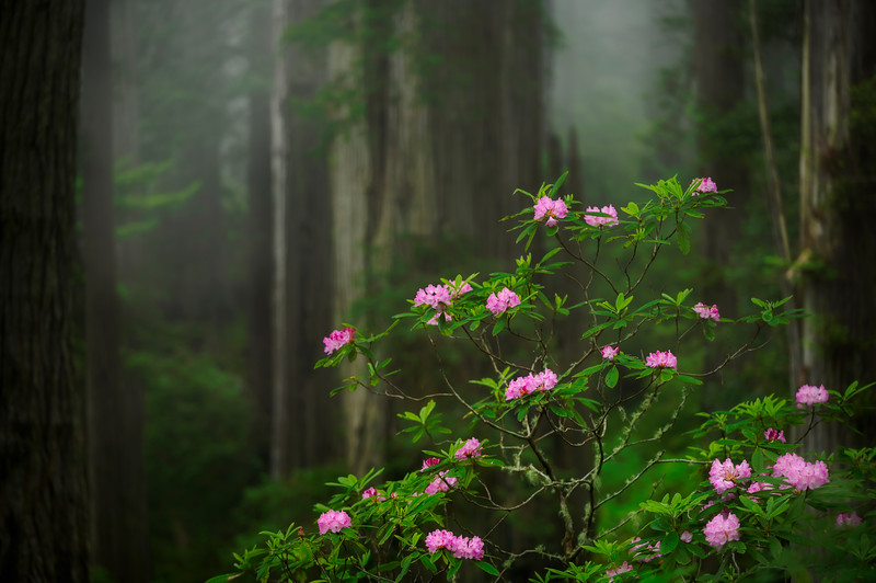 Redwood Rhododendron