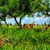 cows_DSC1382_1