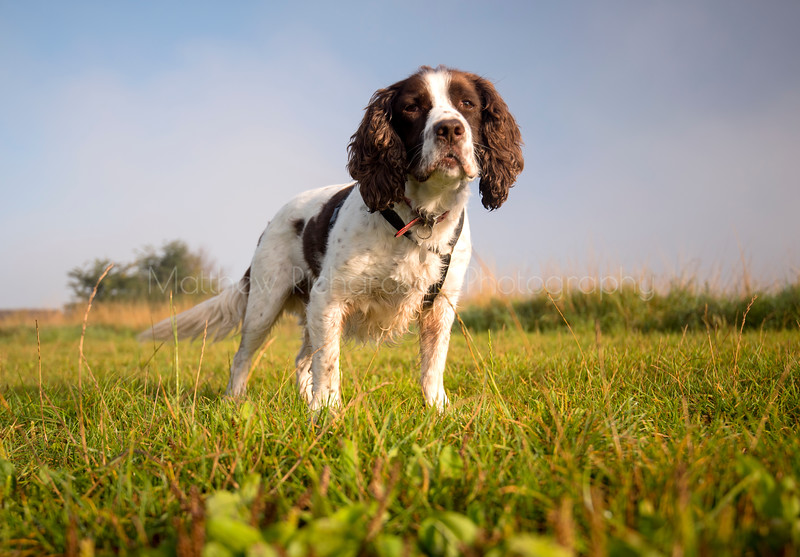 Springer Spaniel in the sun