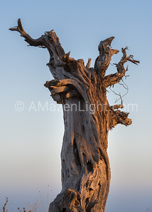 Defiant Juniper at Sunrise